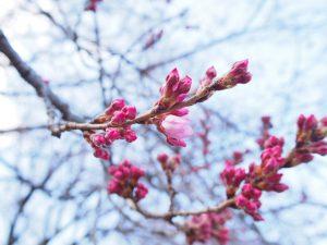 妙了寺の桜の様子