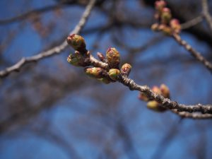徳島堰の桜の様子